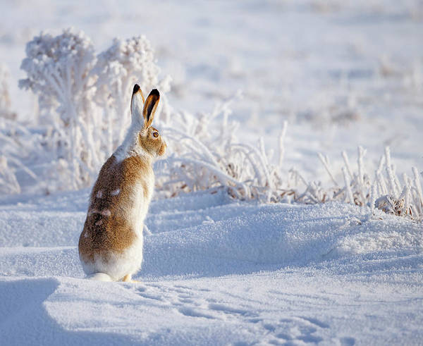 Seasonal Photograph - White-tailed Jackrabbit by Shlomo Waldmann
