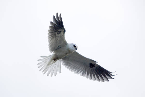 White-tailed Kite Photograph - White-tailed Kite by Craig K. Lorenz