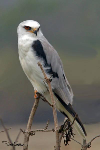 White-tailed Kite Photograph - White-tailed Kite by David Salter