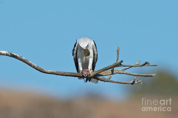 White-tailed Kite Photograph - White-tailed Kite Eats Vole by Anthony Mercieca