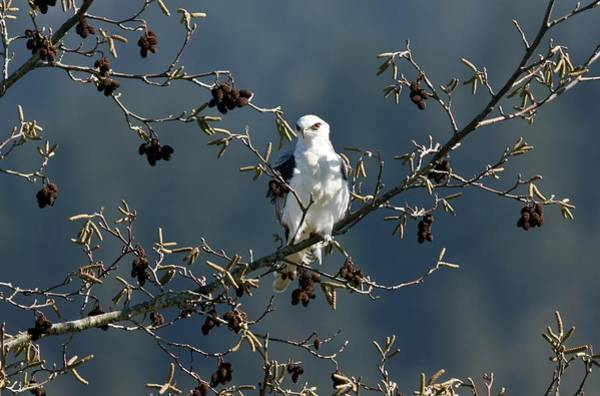 White-tailed Kite Photograph - White-tailed Kite In A Tree by Bob Gibbons