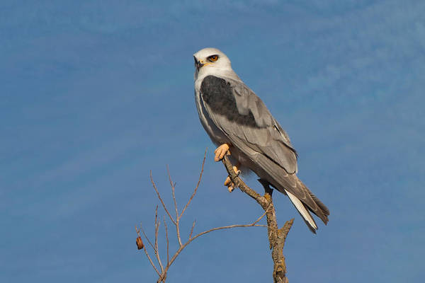 Black Kite Photograph - White Tailed Kite In A Tree by Kathleen Bishop