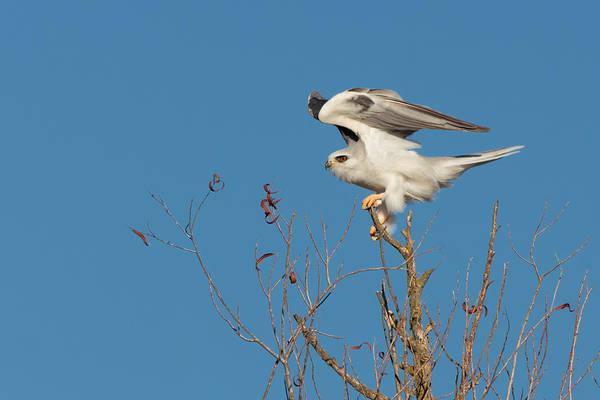 White-tailed Kite Photograph - White-tailed Kite  by Kathleen Bishop