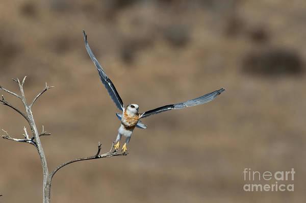 White-tailed Kite Photograph - White-tailed Kite Takes Off by Anthony Mercieca