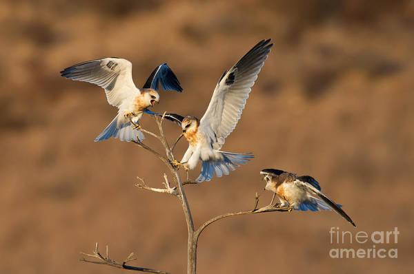 White-tailed Kite Photograph - White-tailed Kite Trio by Anthony Mercieca