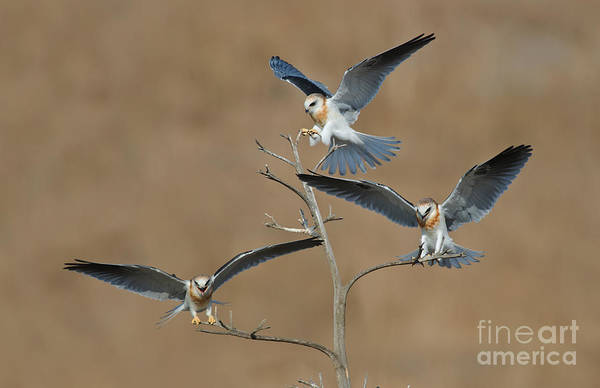 White-tailed Kite Photograph - White-tailed Kite Young by Anthony Mercieca