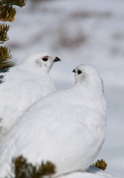 Photograph - White-tailed Ptarmigan Pair by Cascade Colors