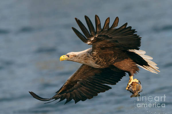 Falconiformes Photograph - White-tailed Sea Eagle by Thomas Hanahoe