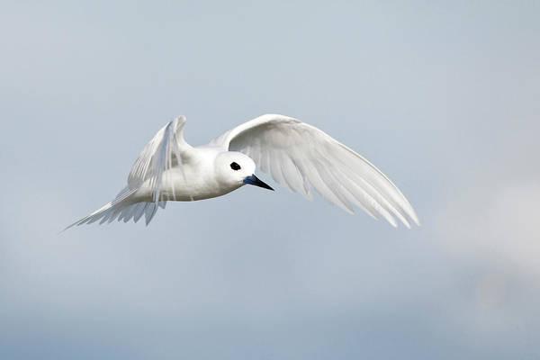 Elegant Tern Wall Art - Photograph - White Tern (gygis Alba Rothschildi by Daisy Gilardini