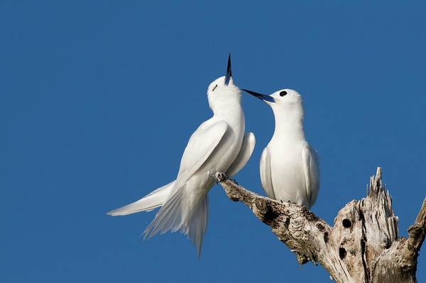 Courtship Display Photograph - White Terns Allogrooming by Tony Camacho/science Photo Library
