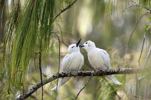 Courtship Display Photograph - White Terns (gygis Alba Rothschildi by Daisy Gilardini