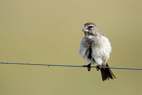 Wall Art - Photograph - White Throated Canary by Peter Chadwick/science Photo Library