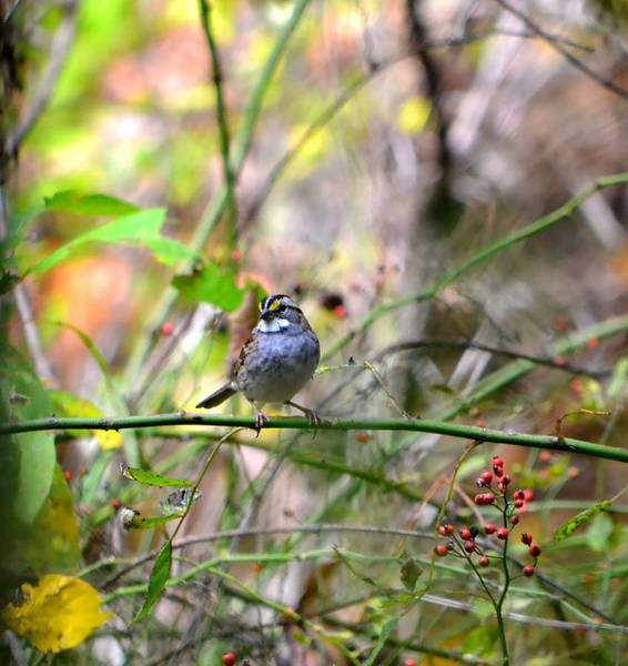 White-throated Sparrow Photograph - White Throated Sparrow 2 by Deena Stoddard