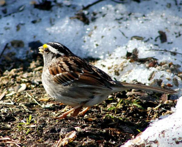 Photograph - White Throated Sparrow by Al Fritz