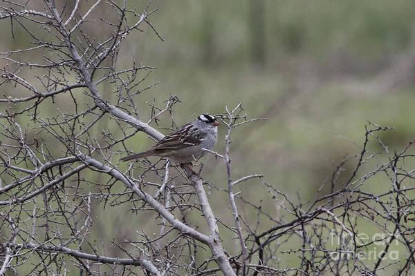 White-throated Sparrow Photograph - White-throated Sparrow by Douglas Barnard