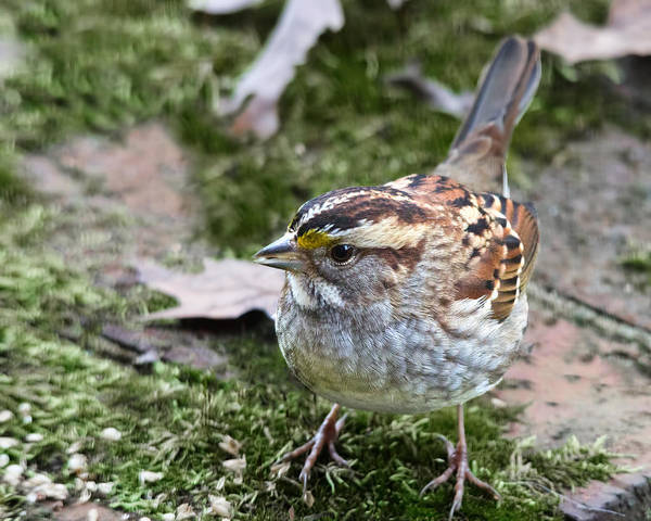 White-throated Sparrow Photograph - White Throated Sparrow by Jemmy Archer