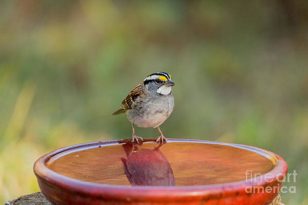 White-throated Sparrow Photograph - White-throated Sparrow by Linda Freshwaters Arndt