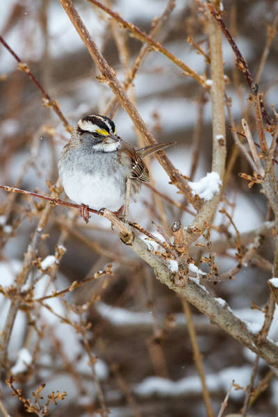 White-throated Sparrow Photograph - White Throated Sparrow Portrait by Bill Wakeley