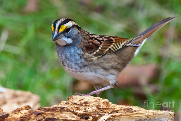 White-throated Sparrow Photograph - White-throated Sparrow  by Robert McAlpine