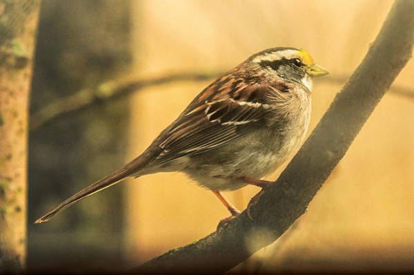 Migratory Birds Photograph - White-throated Sparrow by Susan Capuano