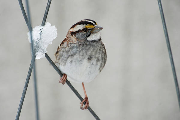 White-throated Sparrow Photograph - White-throated Sparrow Up Close by Johann  Schumacher