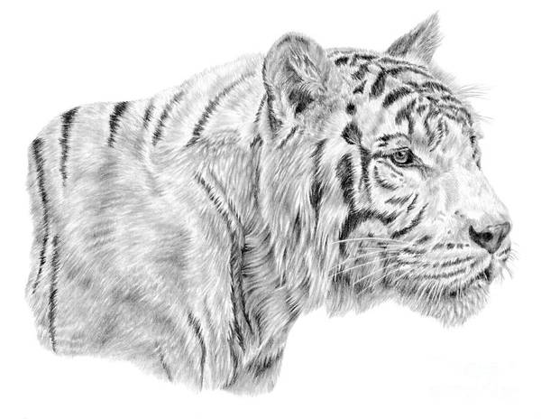 Drawing - White Tiger by Pencil Paws