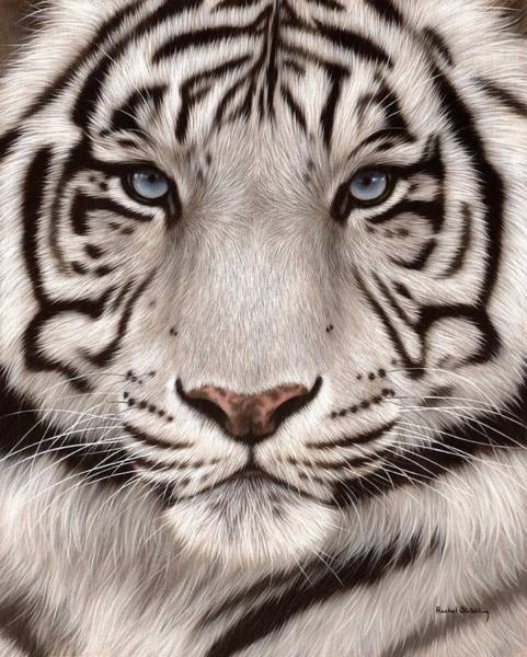 Close-up Painting - White Tiger Painting by Rachel Stribbling