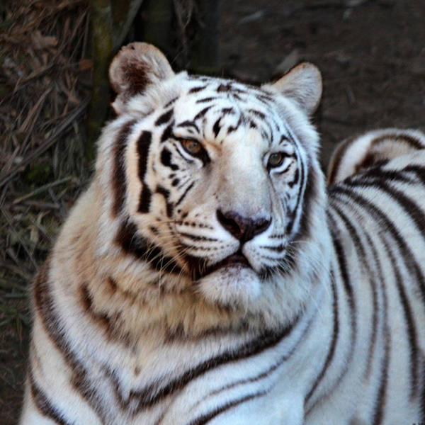 Photograph - White Tiger Portrait by Maggy Marsh