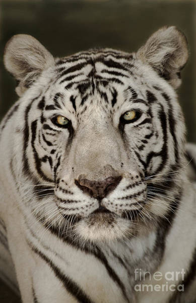 Photograph - White Tiger Portrait Wildlife Rescue by Dave Welling