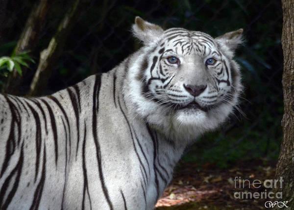 Photograph - White Tiger by Wanda Krack