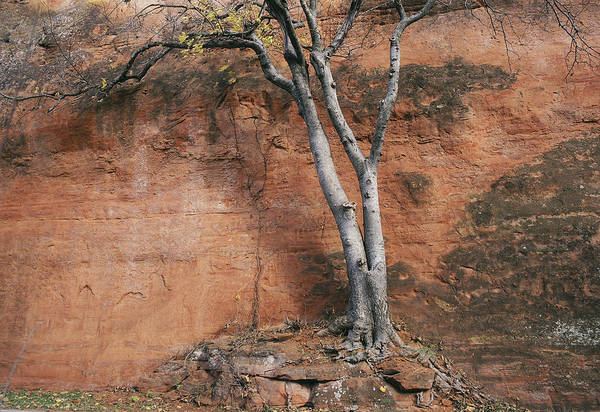 White Tree And Red Rock Face Art Print