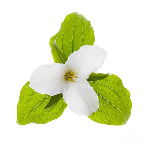 Photograph - White Trillium Flower  by Elena Elisseeva