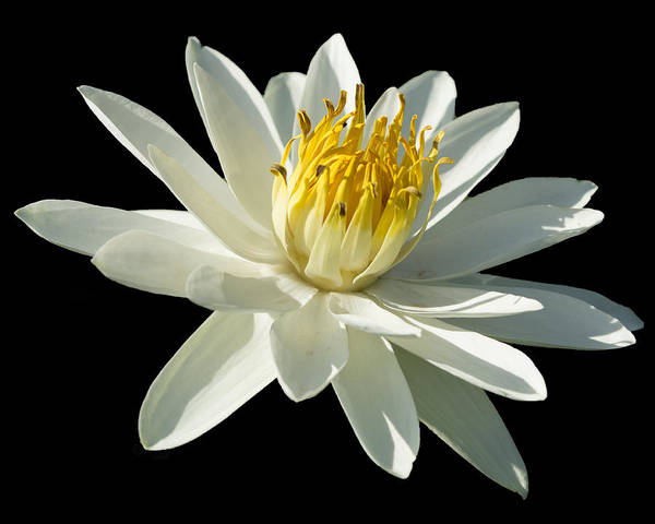 Photograph - White Tropical Lilly by Sean Allen
