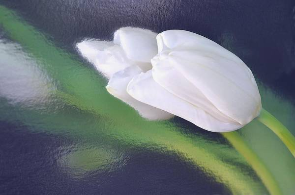 White Tulip Reflected In Dark Blue Water Art Print