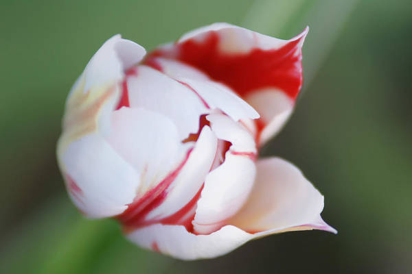 Photograph - White Tulip With Red Edges by Alex Grichenko