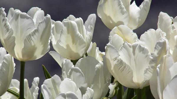 Photograph - White Tulips by Steven Huszar