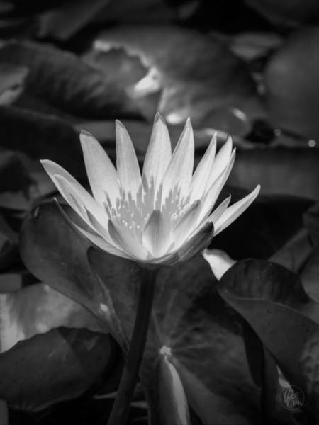 Photograph - White Water Lily 001 Bw by Lance Vaughn