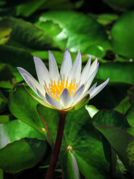 Photograph - White Water Lily 001 by Lance Vaughn
