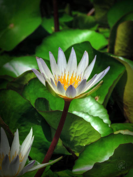 Photograph - White Water Lily 002 by Lance Vaughn
