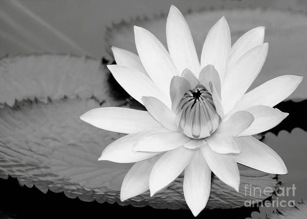 Photograph - White Water Lily In The River by Sabrina L Ryan