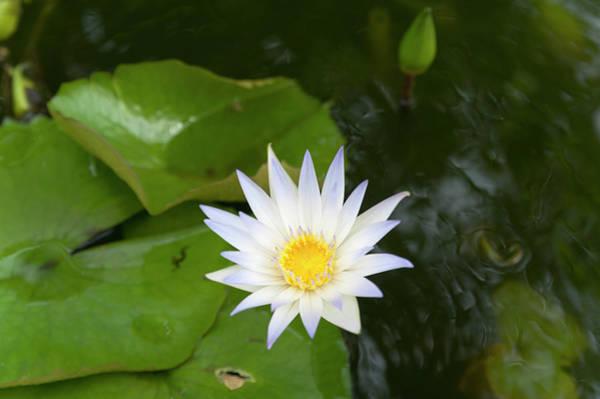 White Water Lily, Koh Samui, Thailand Art Print