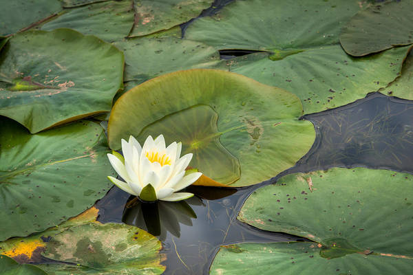 Nymphaea Lotus Photograph - White Water Lily by Matt Dobson