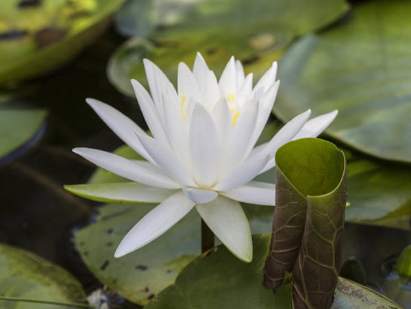 Photograph - White Water Lily With Curiously Scrolled Leaf by Steven Schwartzman