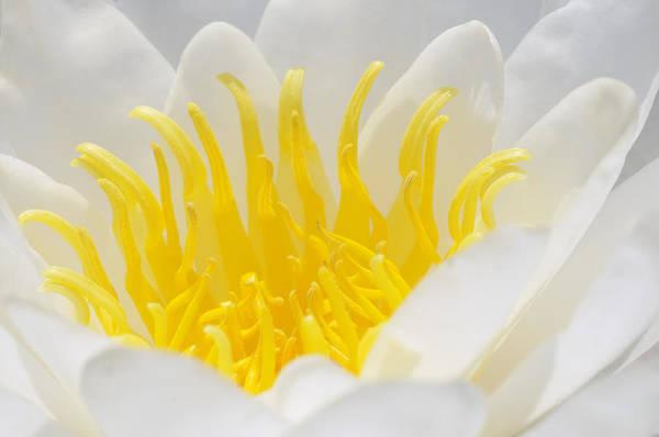Photograph - White Waterlily Detail by Matthias Hauser