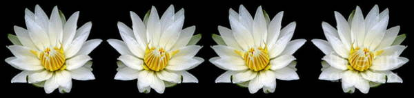 Photograph - White Waterlily With Dewdrops Panorama by Rose Santuci-Sofranko