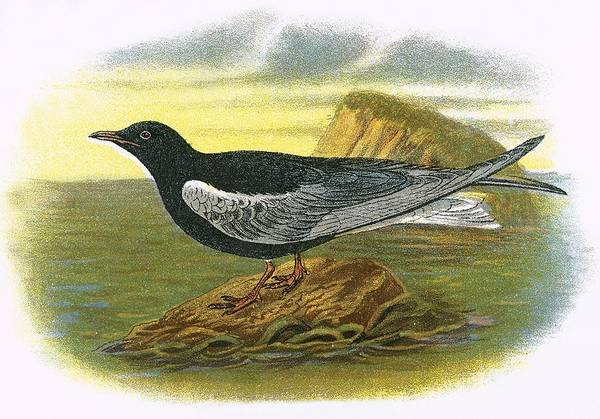Ornithology Photograph - White Winged Black Tern by English School