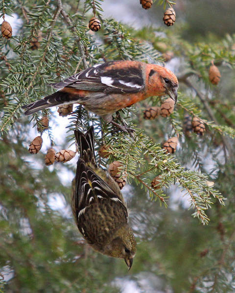 Crossbill Photograph - White-winged Crossbills by Mike Dickie