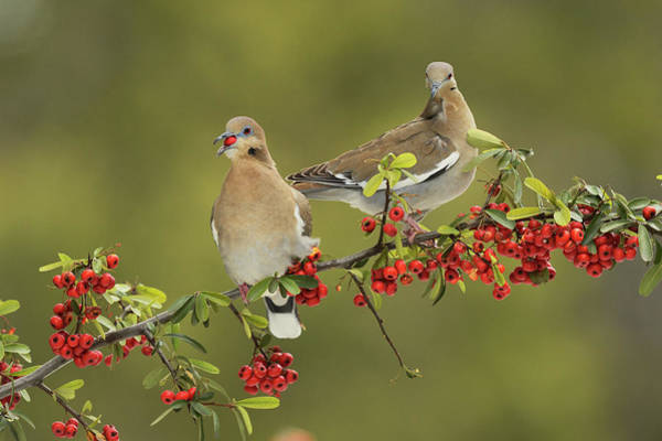 Wall Art - Photograph - White-winged Dove S Eating Firethorn by Rolf Nussbaumer
