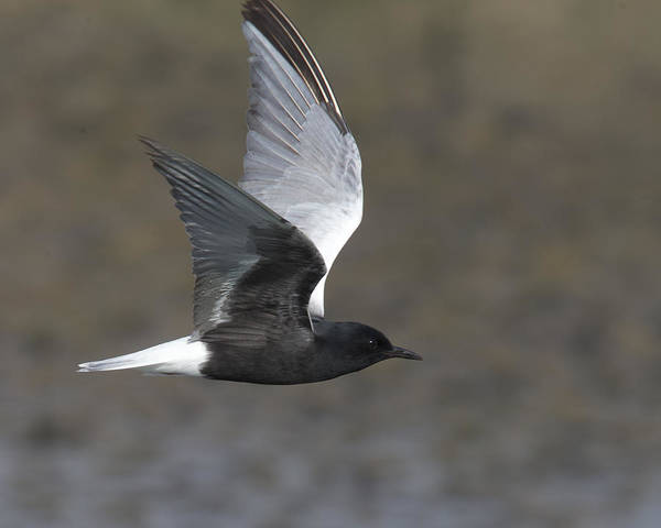 White-winged Tern Art Print