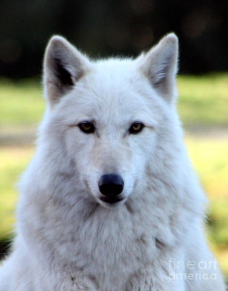 Arctic Wolves Photograph - White Wolf Close Up by Nick Gustafson